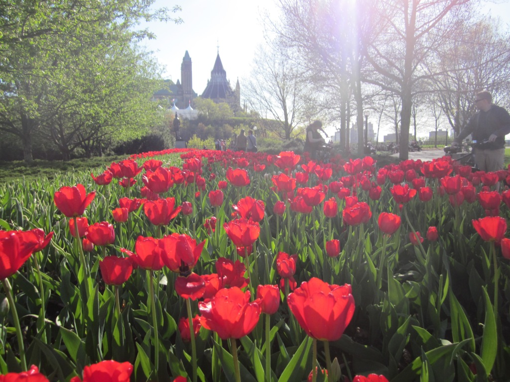 every spring they have a tulip festival, and suddenly millions of tulips fill the city!