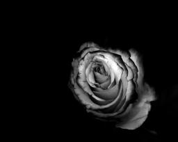 rosas sin color